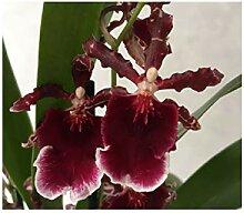 Stk - 1x Miltonia Orchidee Topf Pflanze