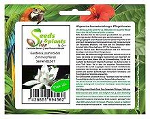 Stk - 20x Gardenia jasminoides Zimmerpflanze