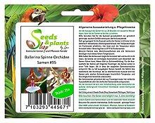 Stk - 25x Ballerina Spinne Orchidee Samen Pflanze