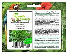 Stk - 5x Bambus Palme Zimmerpflanze Samen Knolle