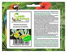 Stk - 5x Moraea serpentina Samen Staude Blume