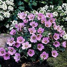 Storchenschnabel, Geranium sanguineum, Set aus 3 Stauden rosa blühend, 7cm Topf