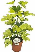 Strahlenaralie (Schefflera arboricola),