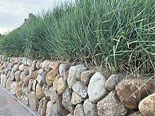 Strandroggen - Leymus arenarius - 1 Pflanze im