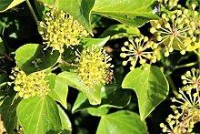 Strauch-Efeu 'Arborescens' - starke