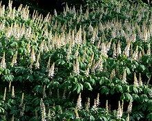 Strauch-Rosskastanie Aesculus parviflora Pflanze