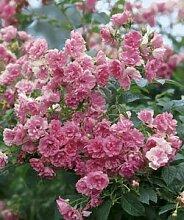 Strauchrose 'Pink Grootendorst' A-Qualität Wurzelware