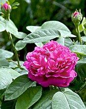 Strauchrose 'Rose de Resht' im 4 L