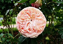 Strauchrose Eden Rose 85 Rosa Eden Rose 85