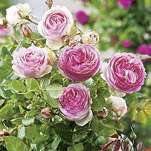 Strauchrose Eden Rose® Rosen-Blüten zweifarbig Rosa-Weiß - Nostalgische Weltrose angenehmer Duft, robust, aufrechter Wuchs ✿ Winterharte Rose von Garten Schlüter - Pflanzen in Top Qualitä