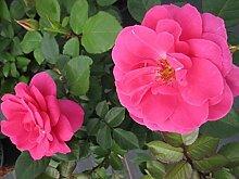 Strauchrose Lea™ Renaissance® - Rosa Lea™