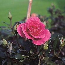 Strauchrose Romanze im 7 Liter Rosentopf