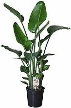 Strelitzia - Trendige Zimmerpflanze/Topfpflanze