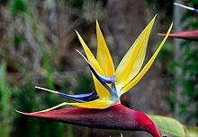 Strelitzienwelt Strelitzia Elliott' s Yellow -
