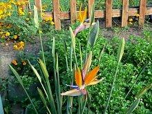 Strelitzienwelt Strelitzia Parvifolia - orange