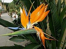 Strelitzienwelt Strelitzia Reginae - orange