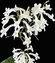 Streptocarpus parfuflora - zauberhaftes Einblatt