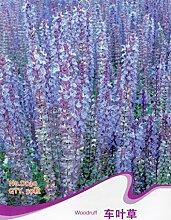Süßholz Ruff Samen Asperula orientalis Aromatische Kräuter Pflanze D030