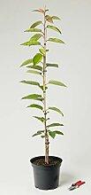 Süßkirsche Sylvia - Prunus avium Sylvia