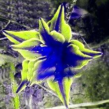 200PCS Bunte Calla Lilien Samen Seltene Pflanzen Blumensamen Bonsai Garten