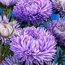 SummerRio Garten-100 Pcs Chrysantheme Selten