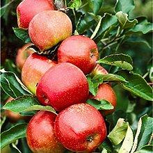 SummerRio Garten-30 Stück süßen Apfel Samen,