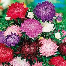 SummerRio Garten-50 Pcs Selten Chrysantheme Samen