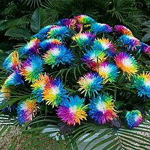 SummerRio Garten-Selten Regenbogen Chrysantheme