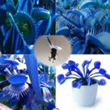 SummerRio Venus Fliegenfalle Samen Blau 20/50