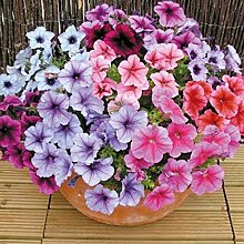 Sump 200pcs Petunia Blumensamen für schönen
