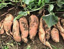 Sumpf frisch 100 Stück Süßkartoffel Gemüse