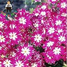 Sumpf frisch 50 Stück Phlox Blumensamen zum