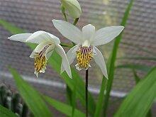 Sumpforchidee weiß (Bletilla striata alba)