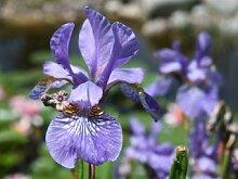 Sumpfschwertlilie - Iris versicolor - Teichpflanze
