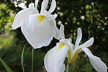 Sumpfschwertlilie weiß (Iris alba) - Teichplanzen