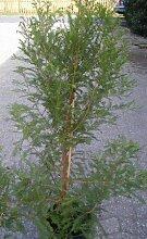 Sumpfzypresse Taxodium distichum 100-125 cm hoch