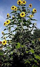 Sunflower # 8-50+ Köpfe pro Pflanze. Sieht aus