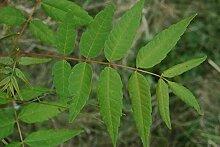 Surenbaum Toona sinensis Pflanze 25-30cm