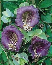 SVI 10 Stück Cobaea scandens Pflanze