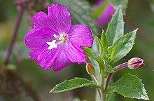 SVI 100 Stück Rosebay Willowherb Pflanze