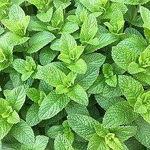 SVI 120 Stück Minze Pflanze