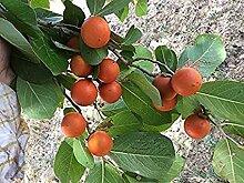 SVI 20 Stück Bio Nux vomica Pflanze Samen