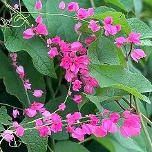 SVI 25pcs Antigonon leptopus blühende Pflanze