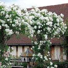SVI 5 Stück weiße Kletterrose Blumensamen