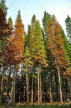 SVI 50 Stück Dawn Redwood Pflanze