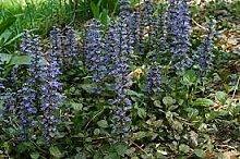 SVI Ajuga Reptans Bodendecker Blumensamen