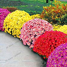 SVI Fresh 100pcs Chrysantheme Blumensamen für
