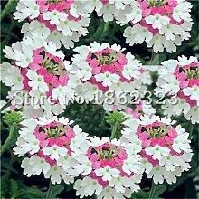 SVI Frisch 100 PC Verbena Blumensamen zum