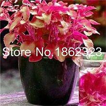 SVI frisch 100pcs Stevia Pflanze Samen für die