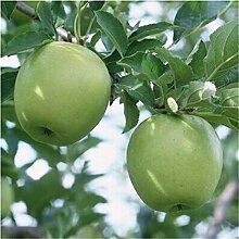 SVI Frisch 20 Stück Apfelbaum SEED zum Anpflanzen